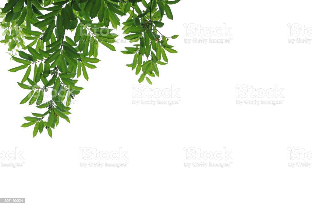 Green manorangini leaves isolated on white background. stock photo