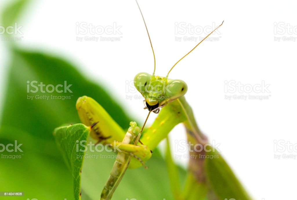 Green mantis catches and eats bug. Mantis on green leaf on white background. stock photo