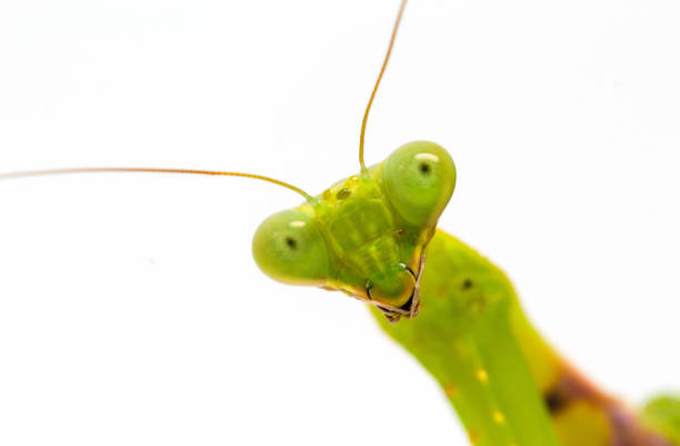 green mantis close-up. surprised soothsayer macro photo. mantis portrait with curious look to camera. - insect stock pictures, royalty-free photos & images