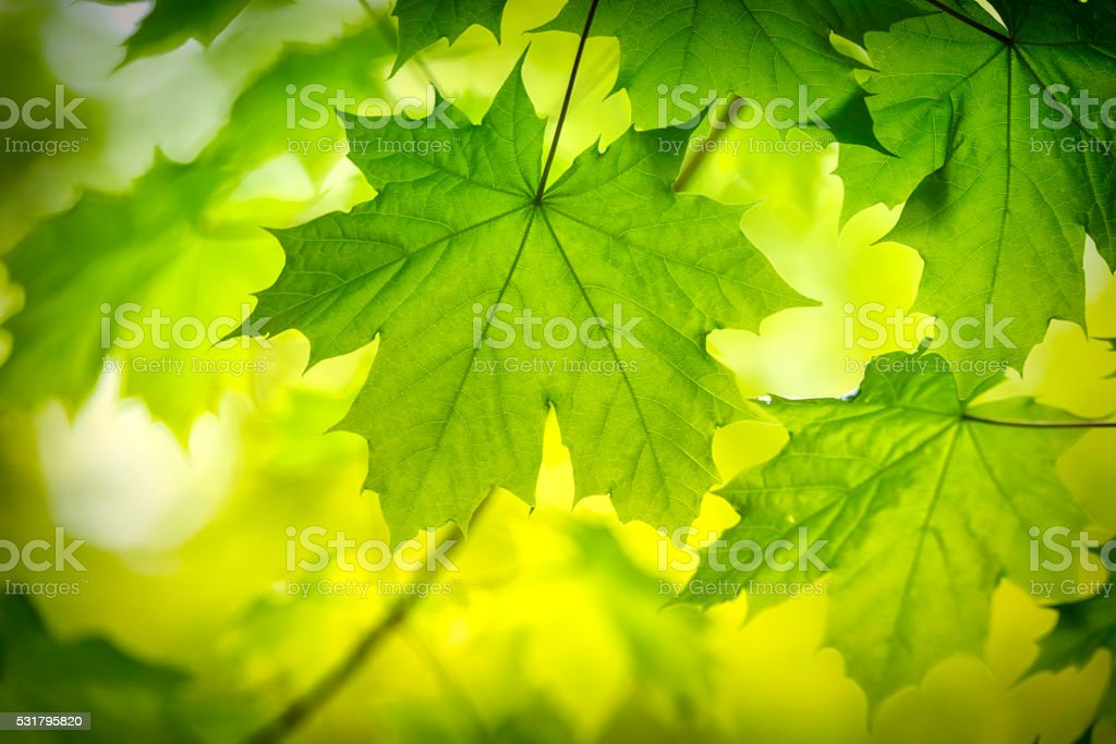 Green Maple leaf in springtime stock photo