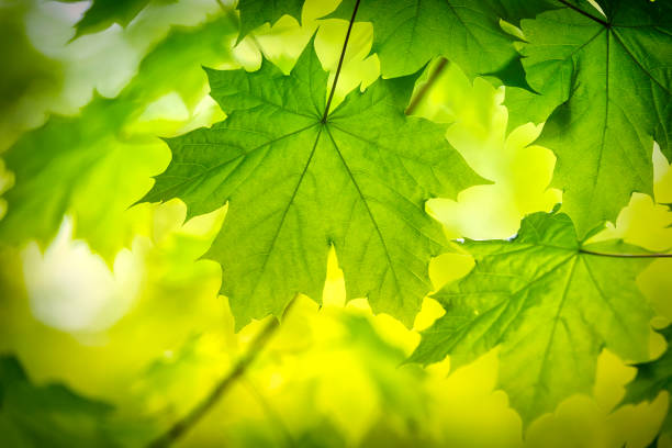 green maple leaf in springtime - maple leaf stock pictures, royalty-free photos & images