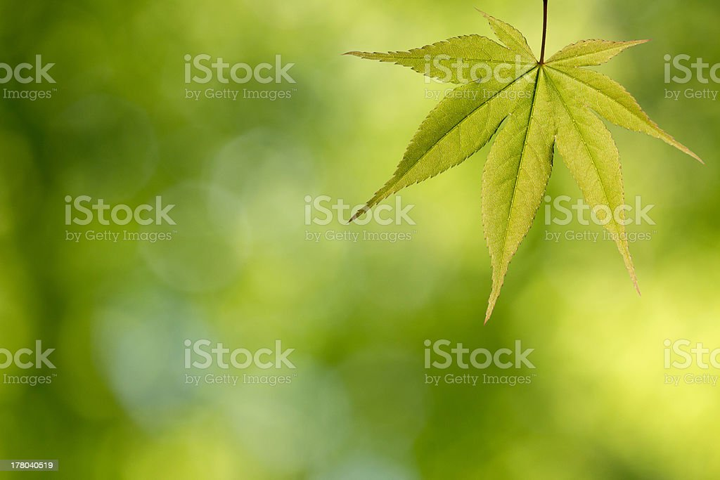 Green maple leaf in the forest royalty-free stock photo