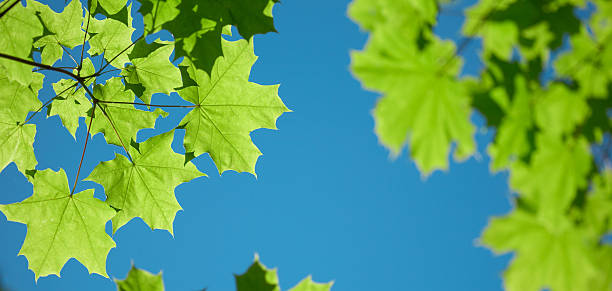Green maple leaves on blue sky stock photo