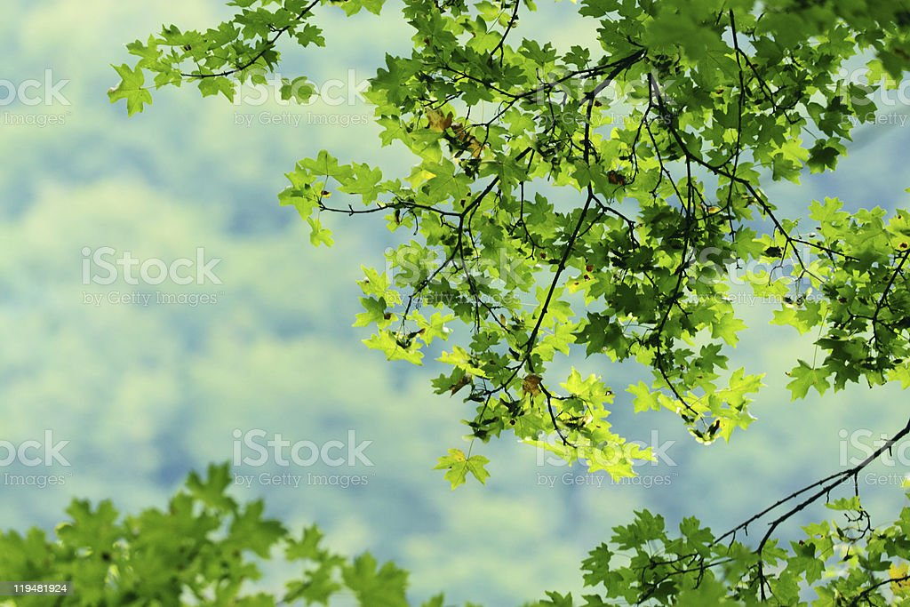 Green maple leaves royalty-free stock photo