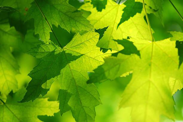 Grüne Ahorn Blätter – Foto
