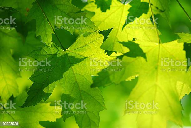 Photo of Green maple leaves