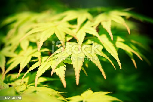 Green maple leaves with backlighting in springtime