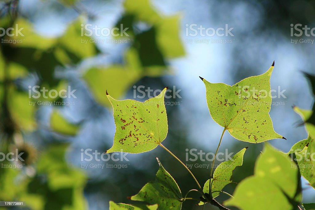 green maple royalty-free stock photo