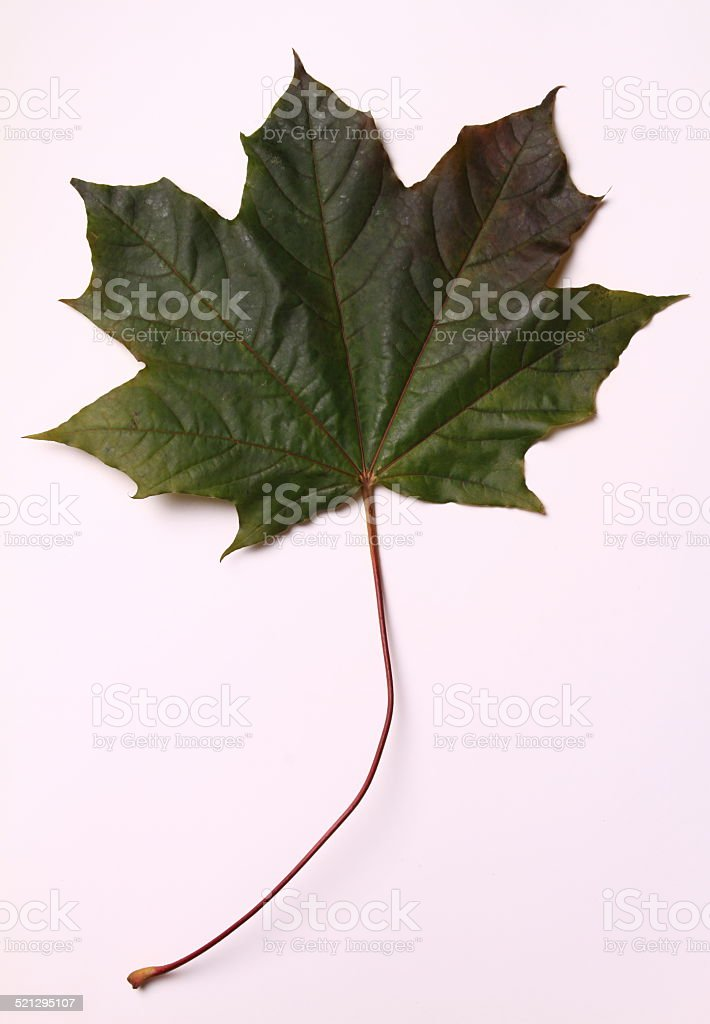 Green Maple stock photo
