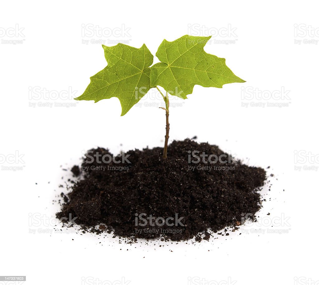 green maple shoot in soil royalty-free stock photo