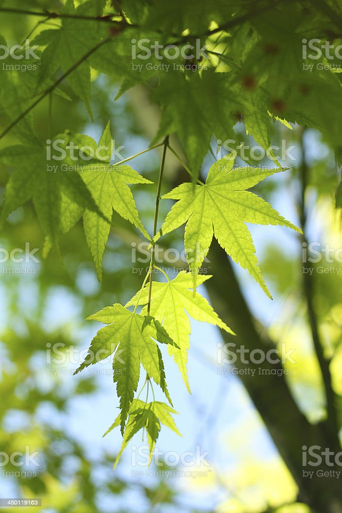 Green mapleleaves in sunny royalty-free stock photo
