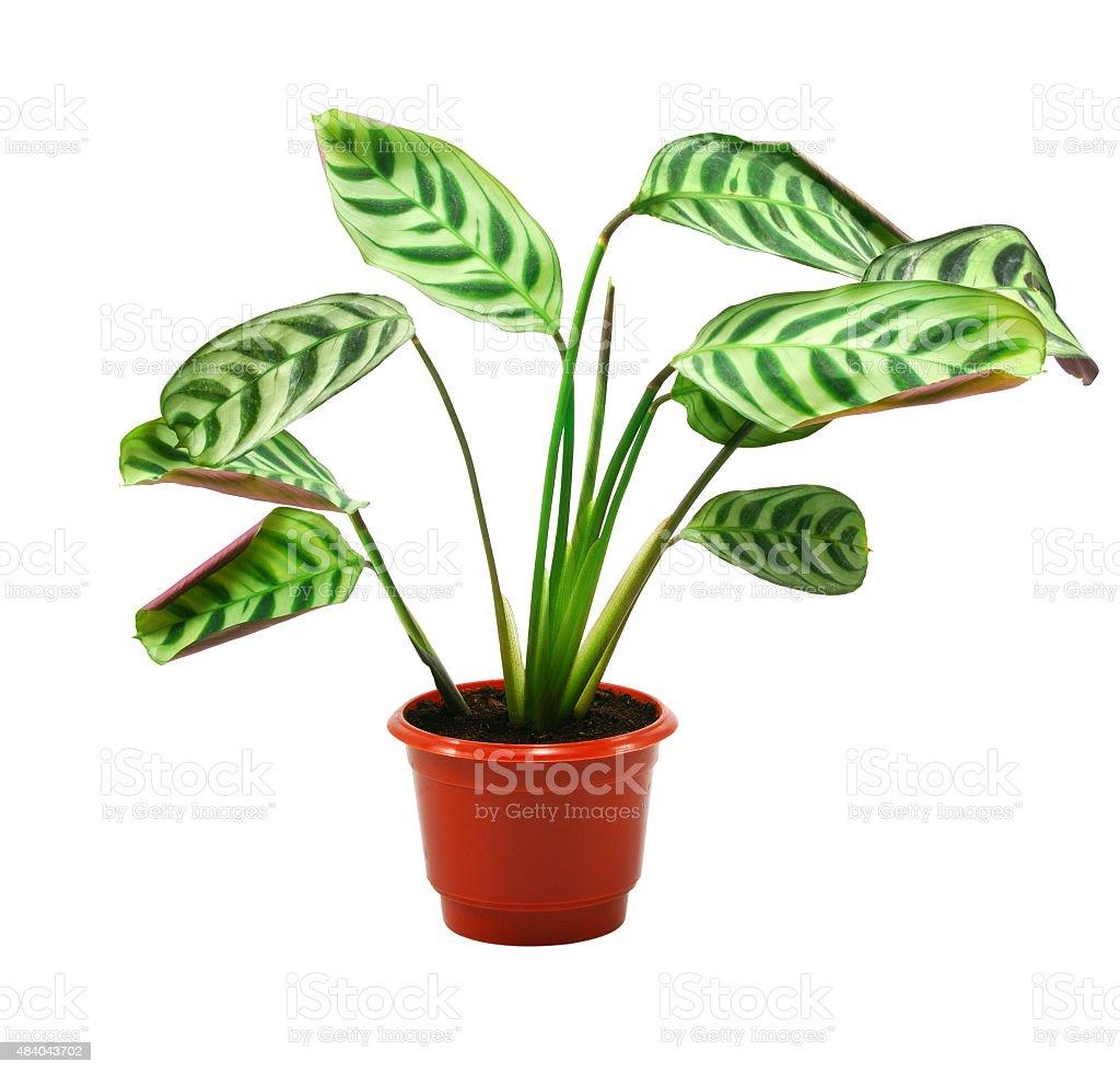 Grüne Pflanze in flowerpot maranta - Lizenzfrei 2015 Stock-Foto