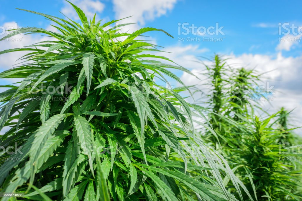Green marijuana outdoor stock photo