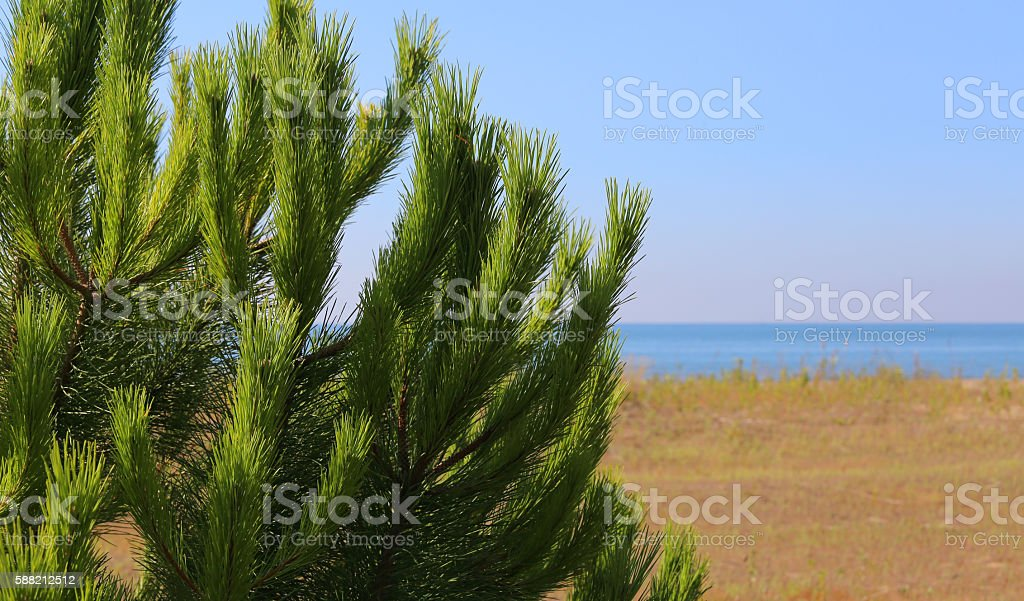 Green maritime pine on the beach stock photo