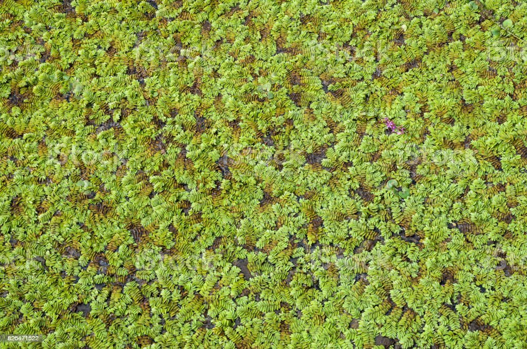 Green marsh vegetation closeup  in swamp stock photo