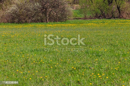 Green meadow covered with yellow dandelions at spring