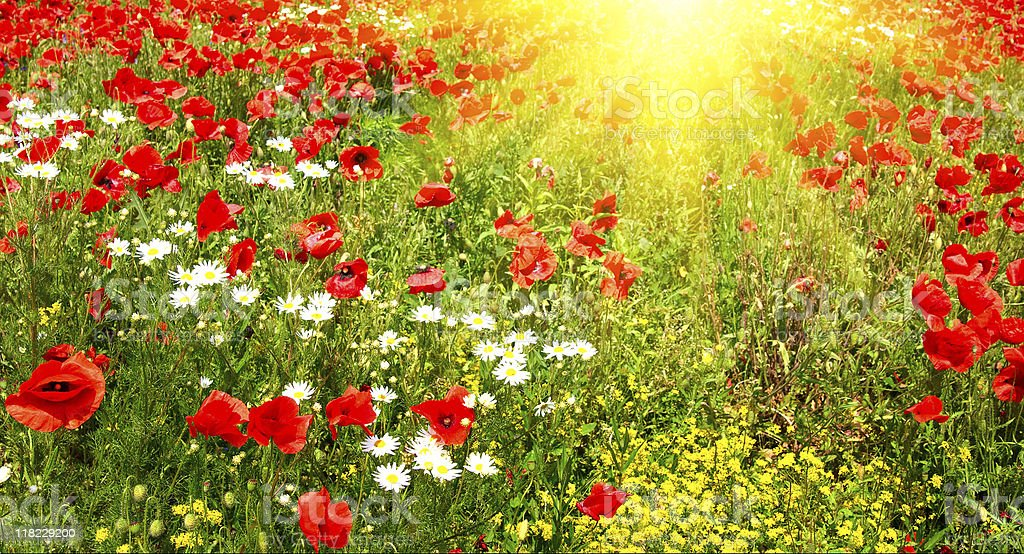 Green meadow early summer morning. royalty-free stock photo