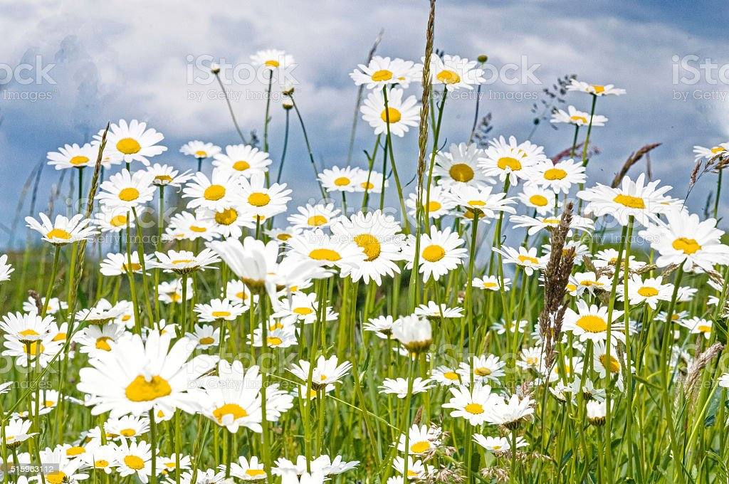 green meadow with many daisies stock photo