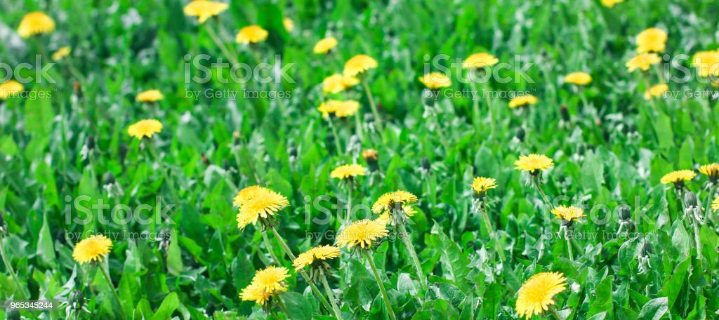 Green meadow with yellow dandelion flowers summer background, banner royalty-free stock photo