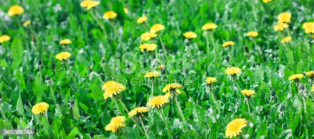 Green Meadow With Yellow Dandelion Flowers Summer Background Banner Stock Photo & More Pictures of Agricultural Field