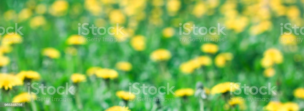 Green meadow with yellow dandelion flowers summer background, blured focus, banner royalty-free stock photo