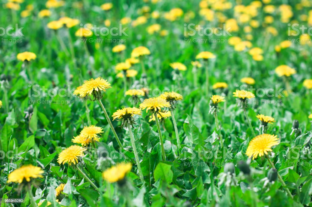 Green meadow with yellow dandelion flowers summer background zbiór zdjęć royalty-free