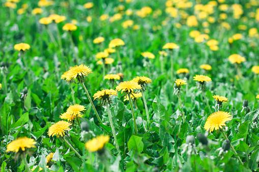 노란 민들레 꽃 여름 배경 녹색 풀밭 0명에 대한 스톡 사진 및 기타 이미지