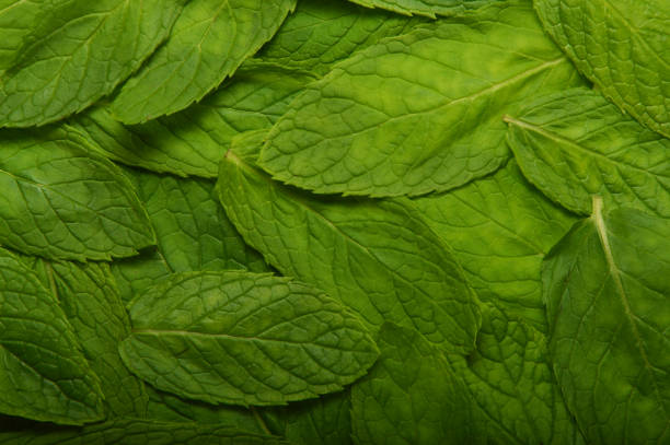 Green Mint Leafs stock photo