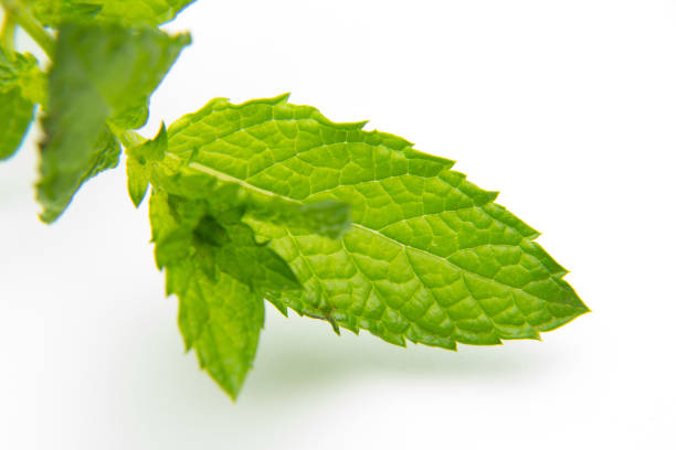 Green mint leaves on white background stock photo