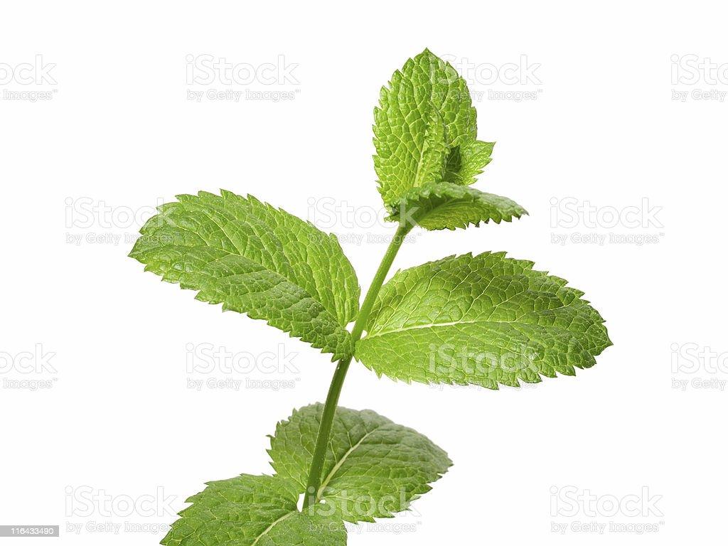 Green Mint royalty-free stock photo