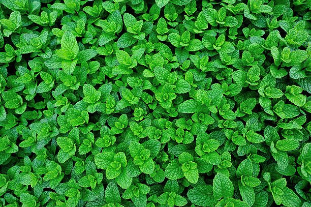 green mint plant grow at vegetable garden stock photo