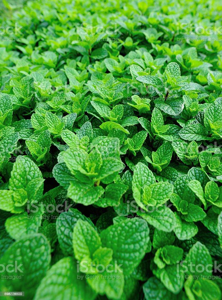 Menta verde planta crescendo na horta foto royalty-free