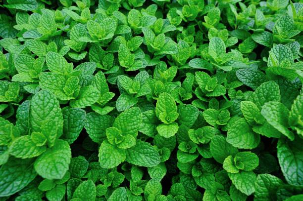 Grüne Minzpflanzen wachsen im Gemüsegarten – Foto