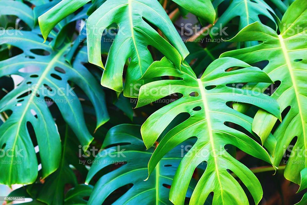 Green monstera leaves stock photo