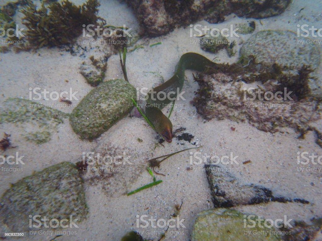 Green Moray Eel Hiding Between Rocks In Sydney Australia Stock Photo ...