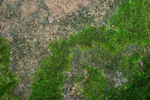 Photo depicting a bright green moss on an old stone wall. Moss background and texture.
