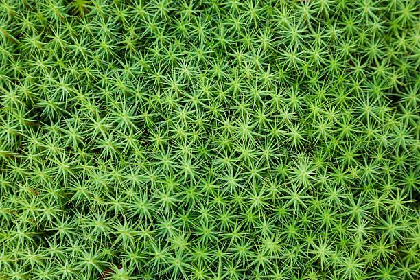 grünem moos hintergrund - sternmoos stock-fotos und bilder