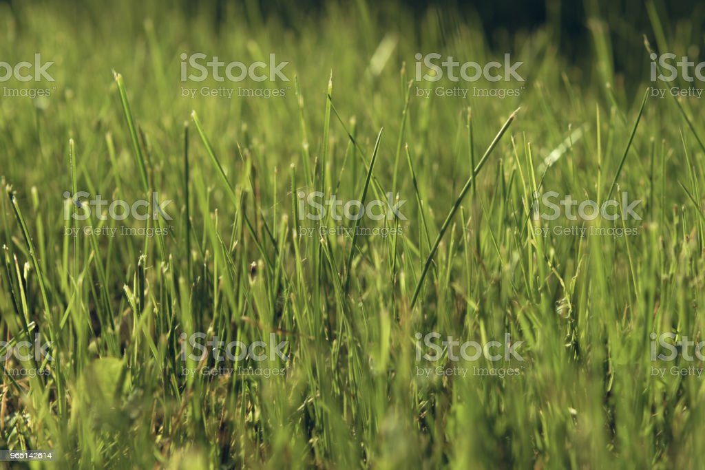 Green moss in the sunlight. Grass background light and bokeh. Nature Background. summer colored garden royalty-free stock photo