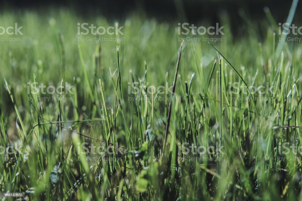 Green moss in the sunlight. Grass background light and bokeh. Nature Background. summer colored garden zbiór zdjęć royalty-free