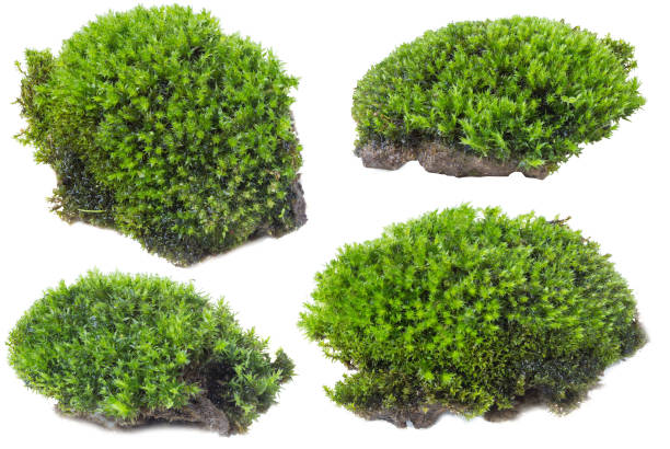 green moss isolated on white background close up. - moss stock pictures, royalty-free photos & images