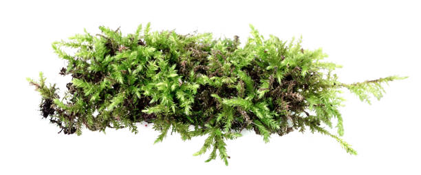 green moss isolated on white background - moss stock pictures, royalty-free photos & images