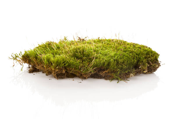 Green moss isolated on white bakground. stock photo