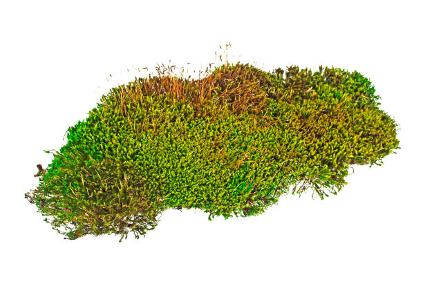 green moss isolated on white bakground - moss stock photos and pictures