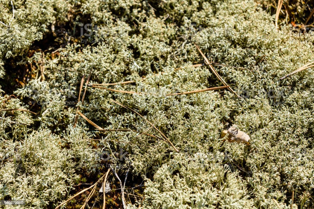 Green moss on a ground in forest royalty-free stock photo