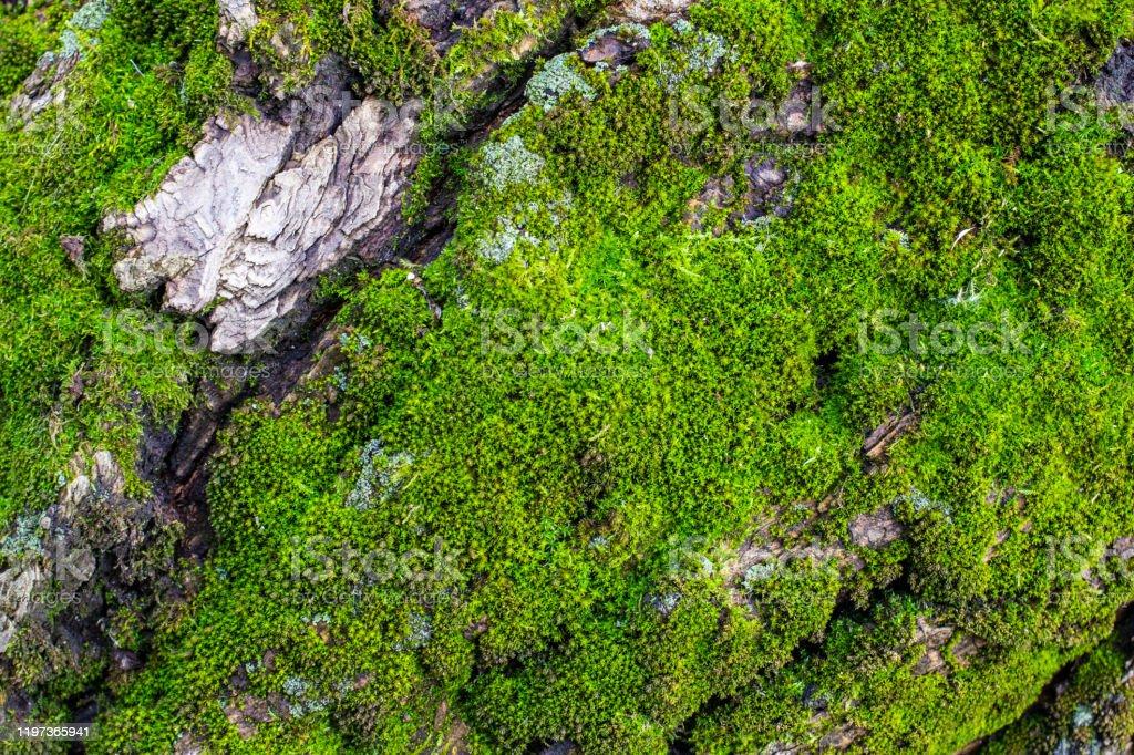 Groen Mos Op Een Boom Closeup Vooren Achtergrond Wazig Met Bokeh Effect Stockfoto En Meer Beelden Van Abstract Istock