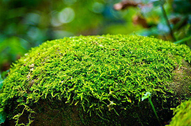 Green moss on stone in forest stock photo