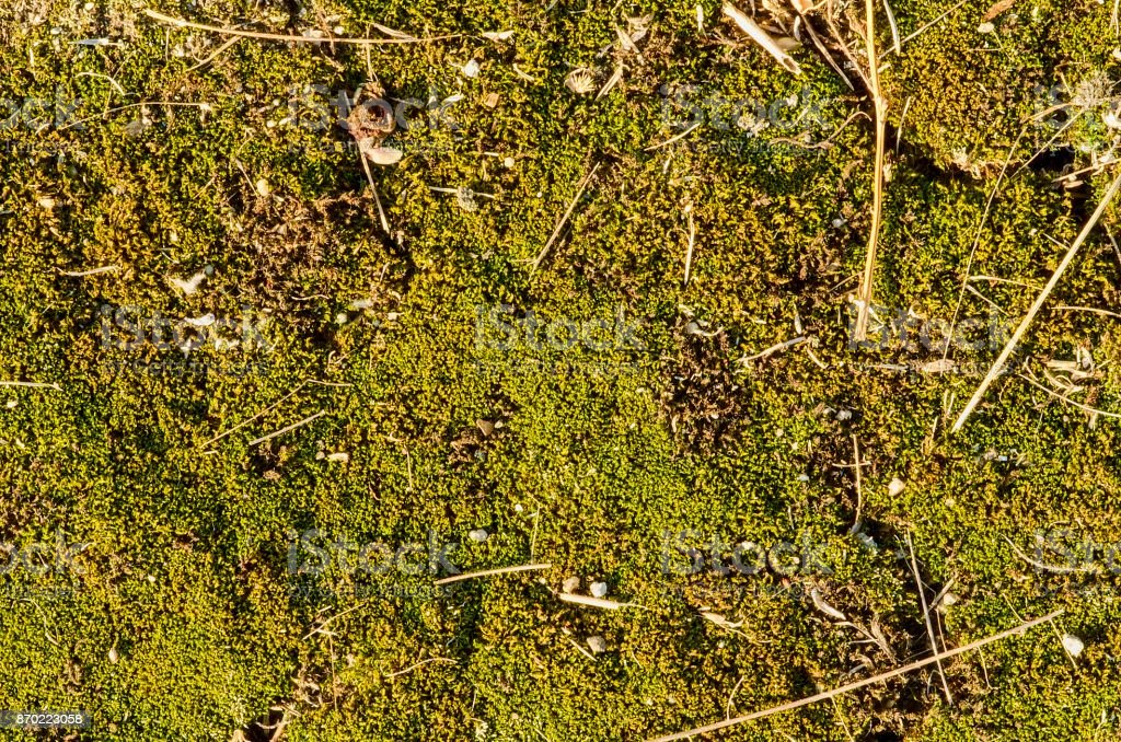 Green moss on the wood. Mossy background stock photo