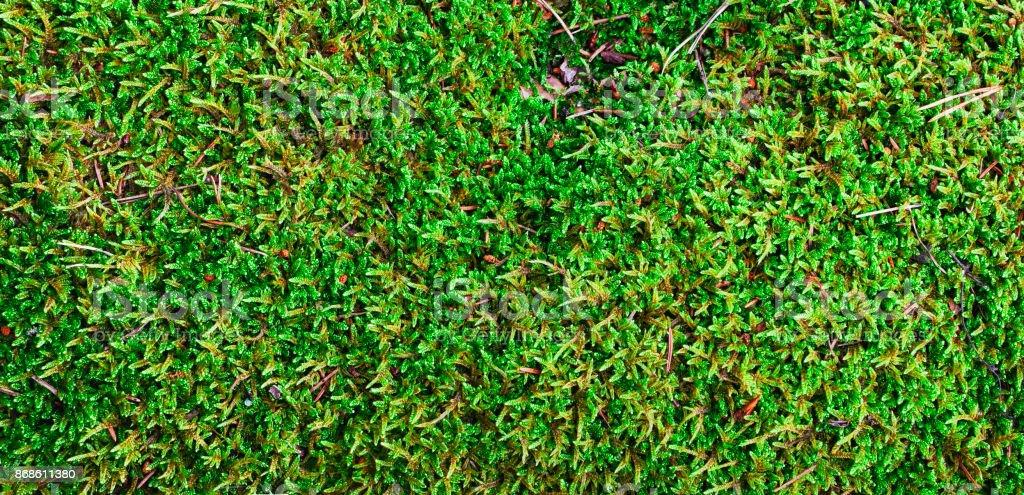 Green moss, panorama. stock photo