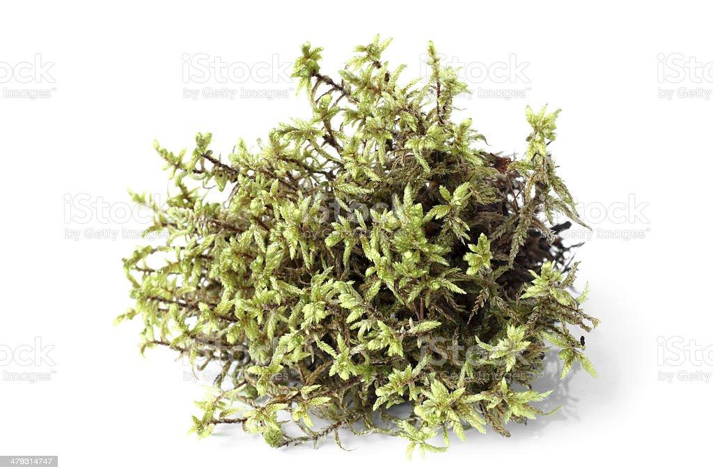 Green moss (Pleurozium schreberi) stock photo