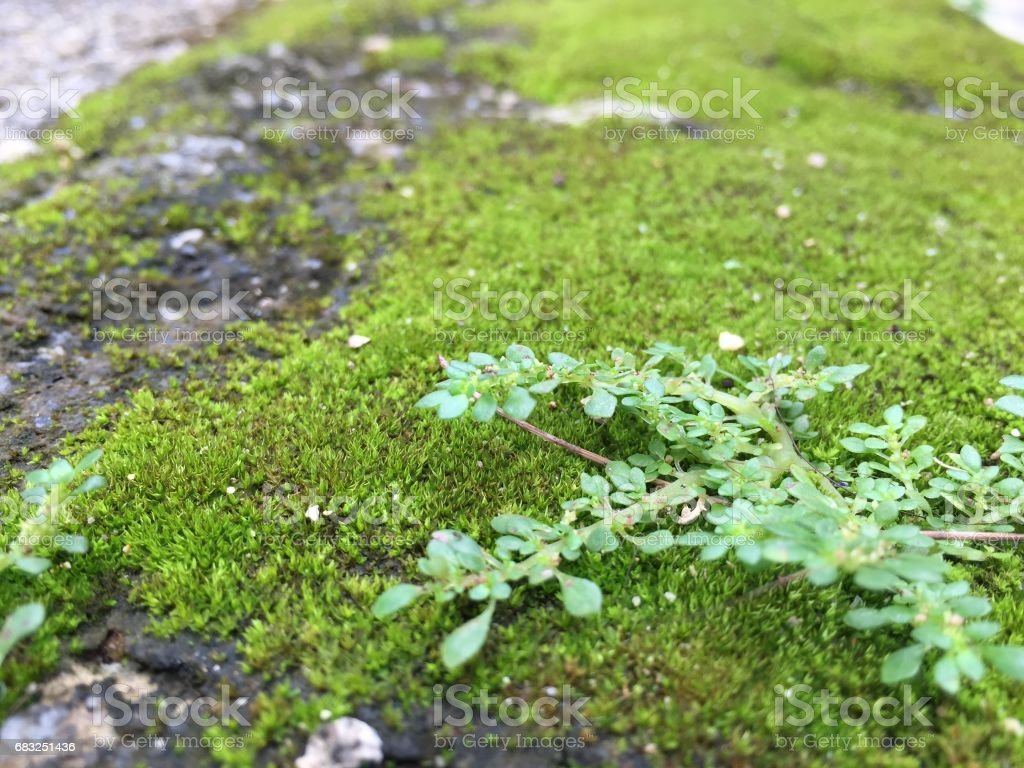 Green Moss foto de stock royalty-free